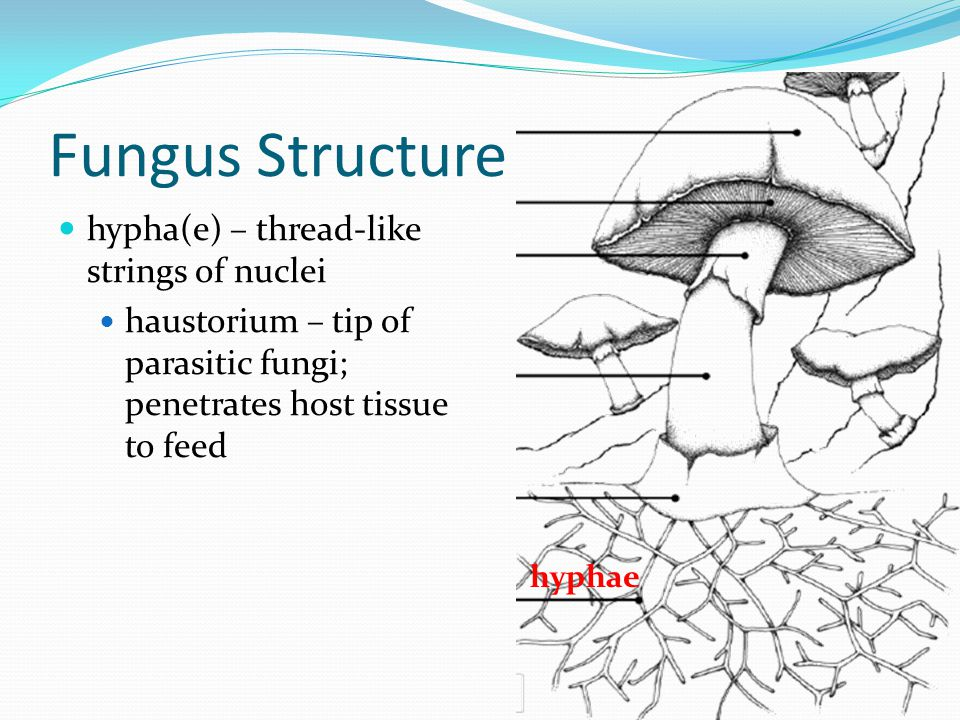Fungus Structure hypha(e) – thread-like strings of nuclei haustorium – tip of parasitic fungi; penetrates host tissue to feed hyphae