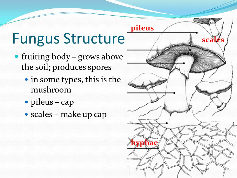 Fungus Structure fruiting body – grows above the soil; produces spores in some types, this is the mushroom pileus – cap scales – make up cap hyphae pi