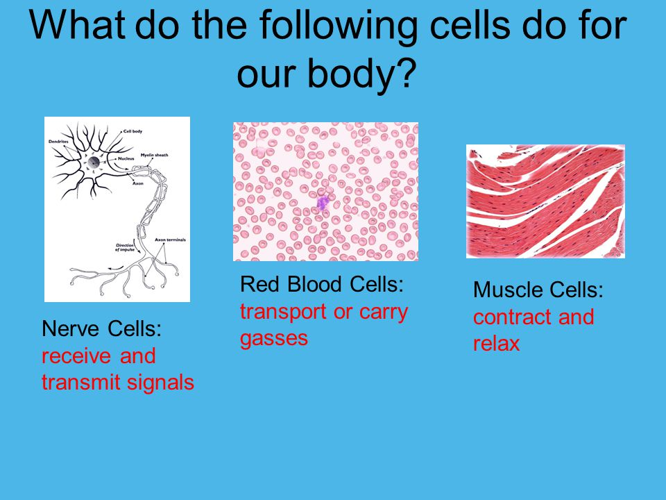 What do the following cells do for our body.