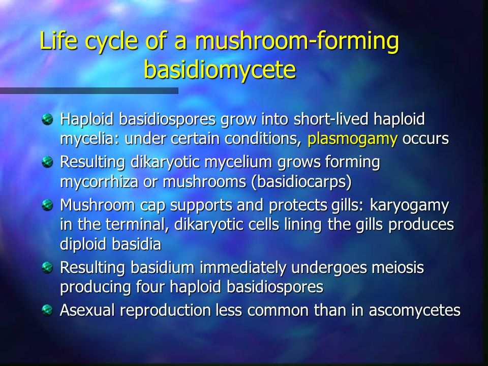 Haploid basidiospores grow into short-lived haploid mycelia: under certain conditions, plasmogamy occurs Resulting dikaryotic mycelium grows forming m