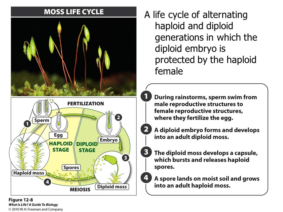 A life cycle of alternating haploid and diploid generations in which the diploid embryo is protected by the haploid female