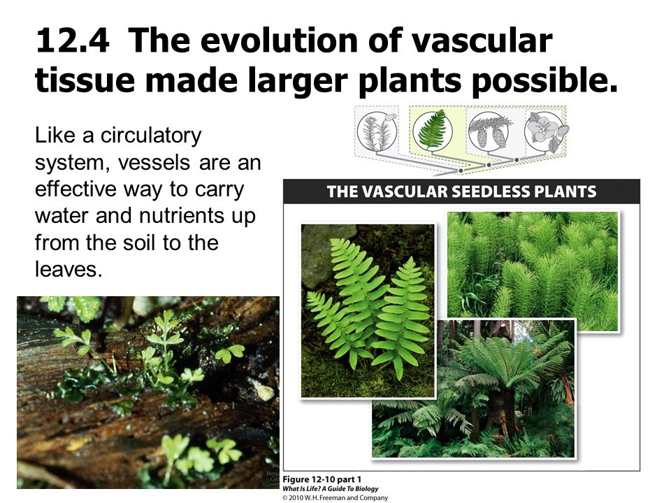 12.4 The evolution of vascular tissue made larger plants possible.