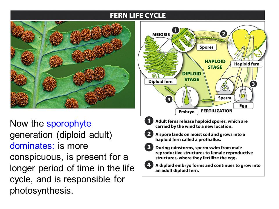 Now the sporophyte generation (diploid adult) dominates: is more conspicuous, is present for a longer period of time in the life cycle, and is responsible for photosynthesis.