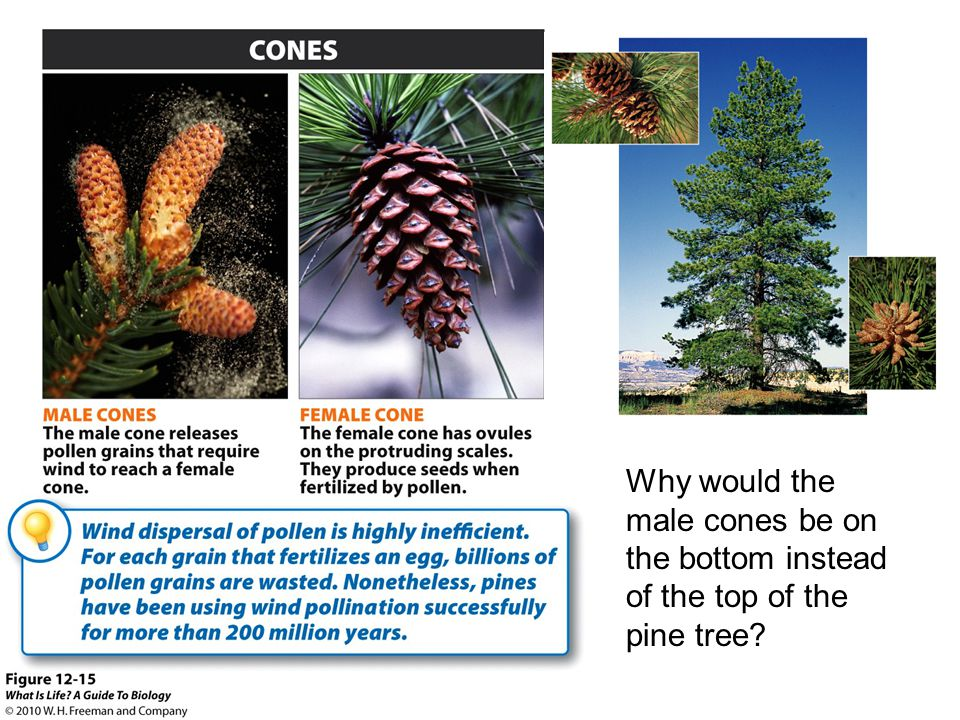 Why would the male cones be on the bottom instead of the top of the pine tree