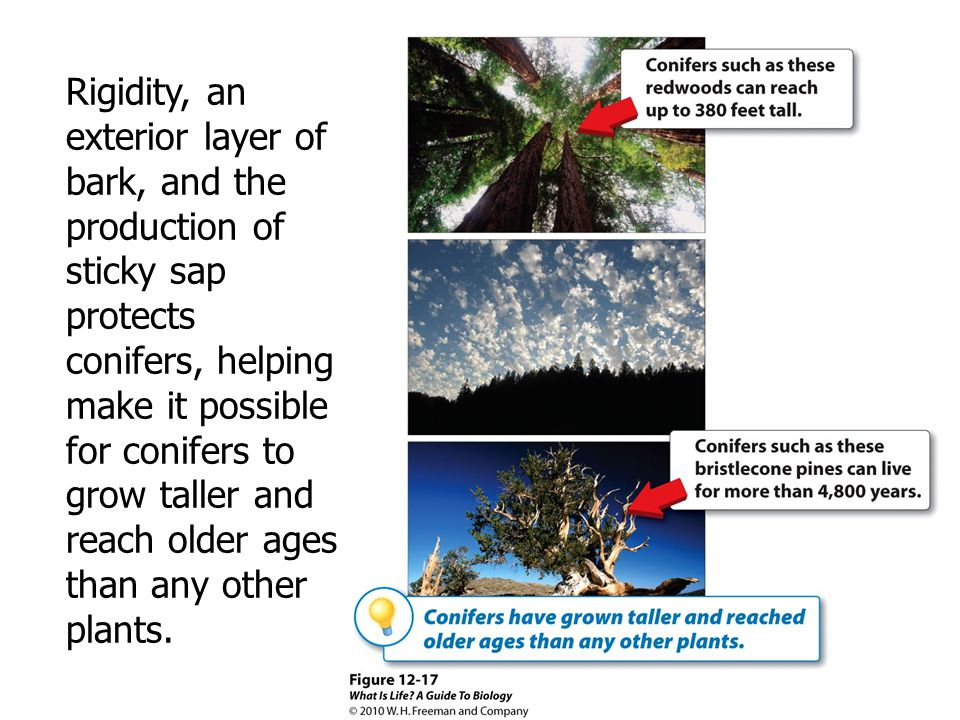 Rigidity, an exterior layer of bark, and the production of sticky sap protects conifers, helping make it possible for conifers to grow taller and reach older ages than any other plants.