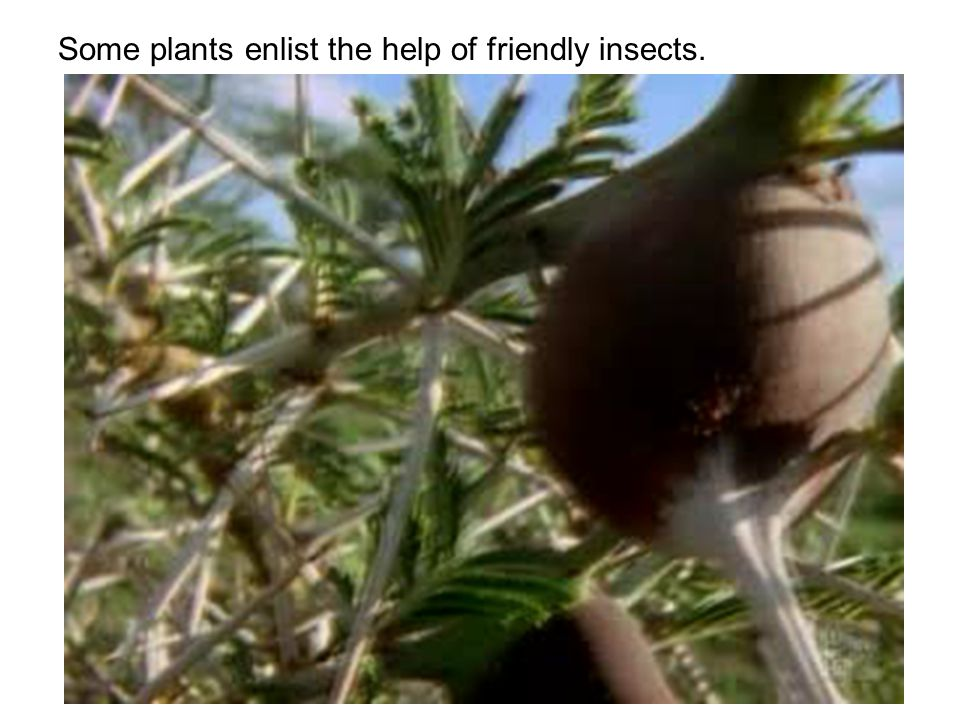 Some plants enlist the help of friendly insects.