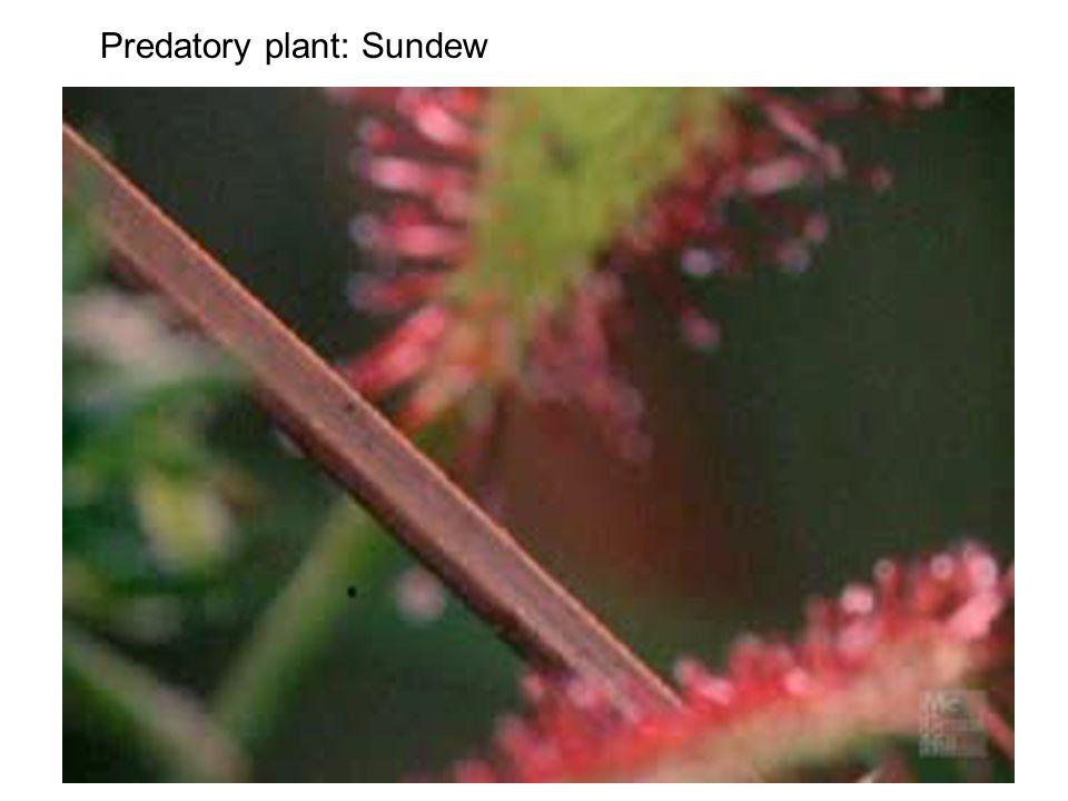 Predatory plant: Sundew