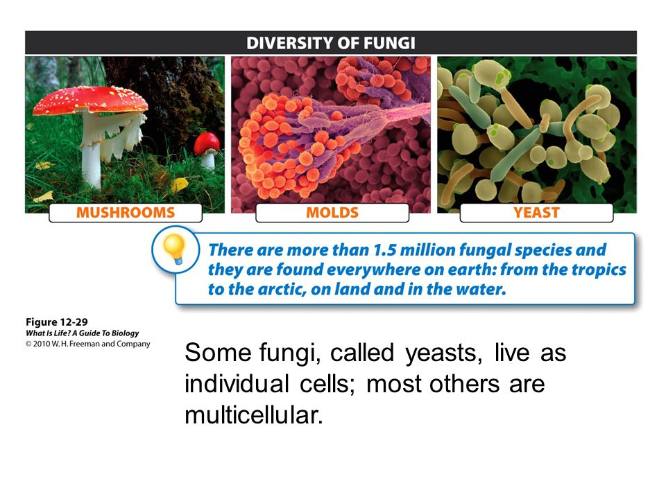 Some fungi, called yeasts, live as individual cells; most others are multicellular.
