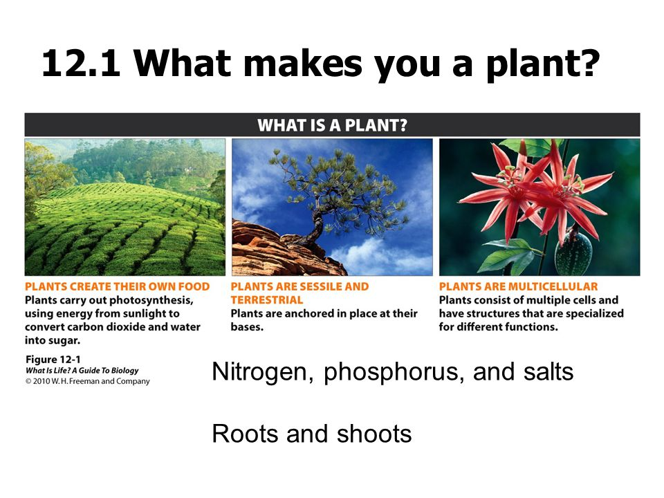 12.1 What makes you a plant Nitrogen, phosphorus, and salts Roots and shoots