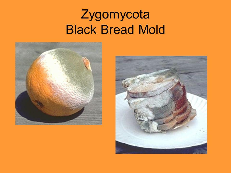 Zygomycota Black Bread Mold