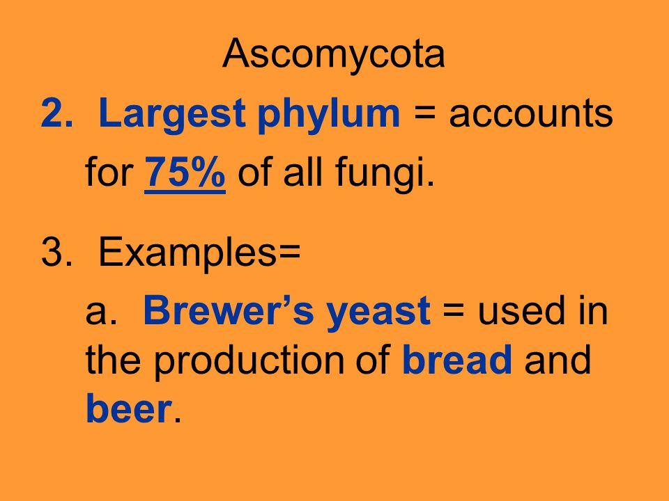 Ascomycota 2. Largest phylum = accounts for 75% of all fungi.