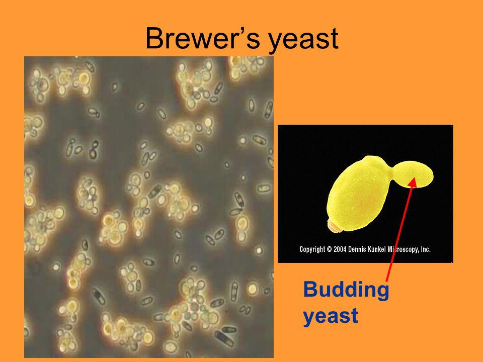 Brewer's yeast Budding yeast