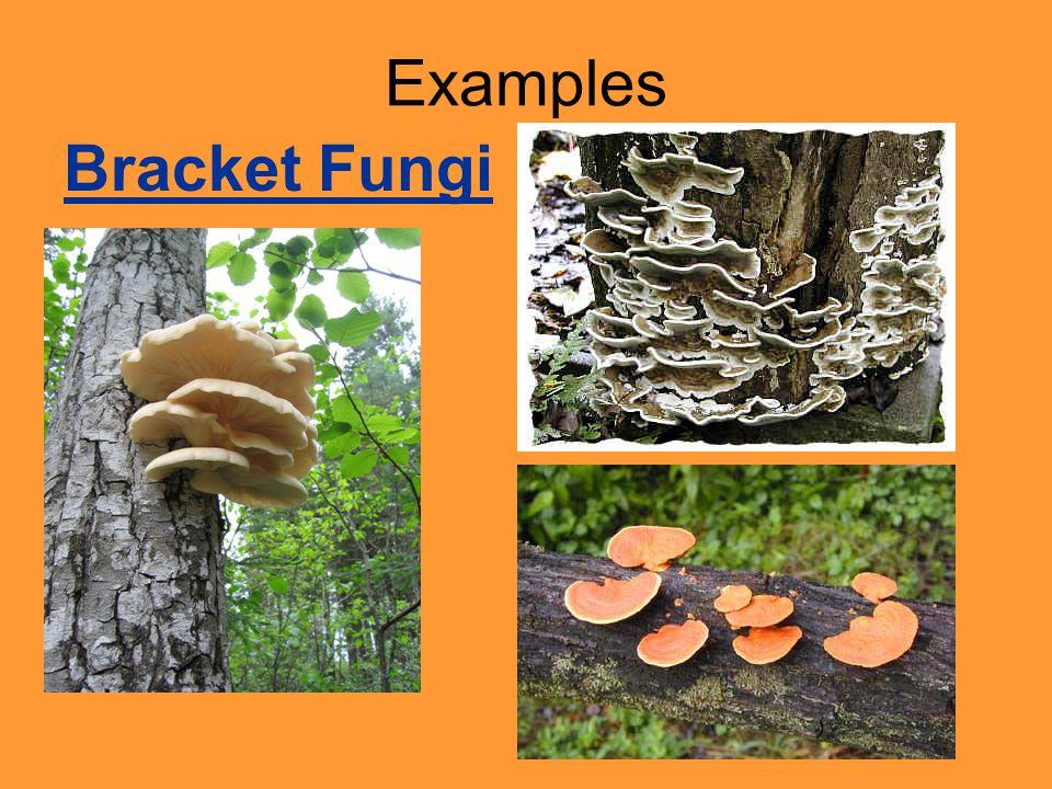 Examples Bracket Fungi