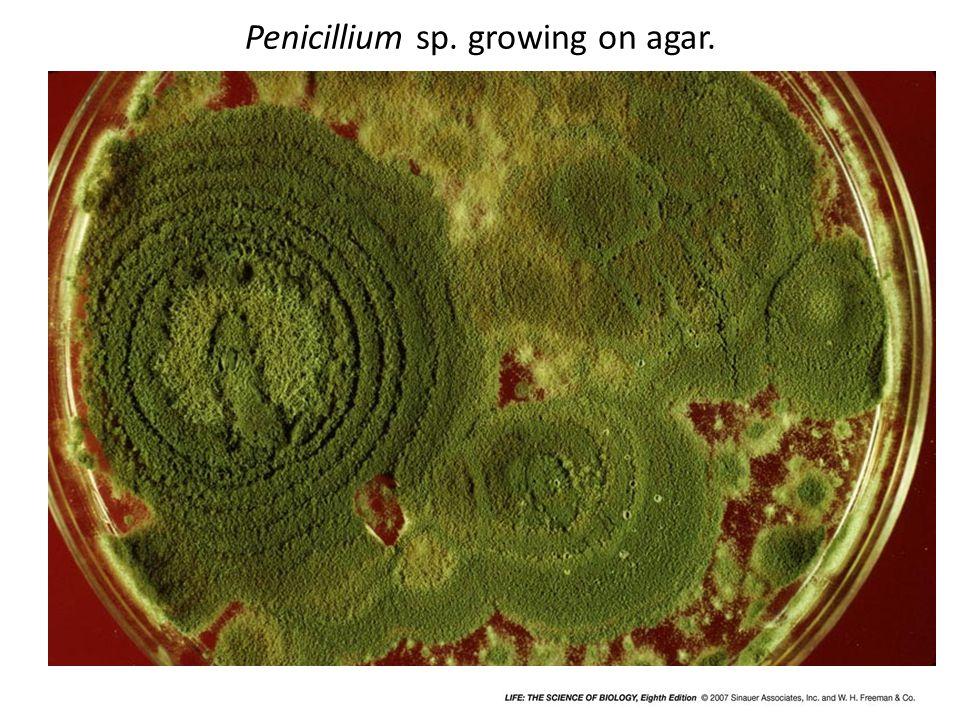 Penicillium sp. growing on agar.