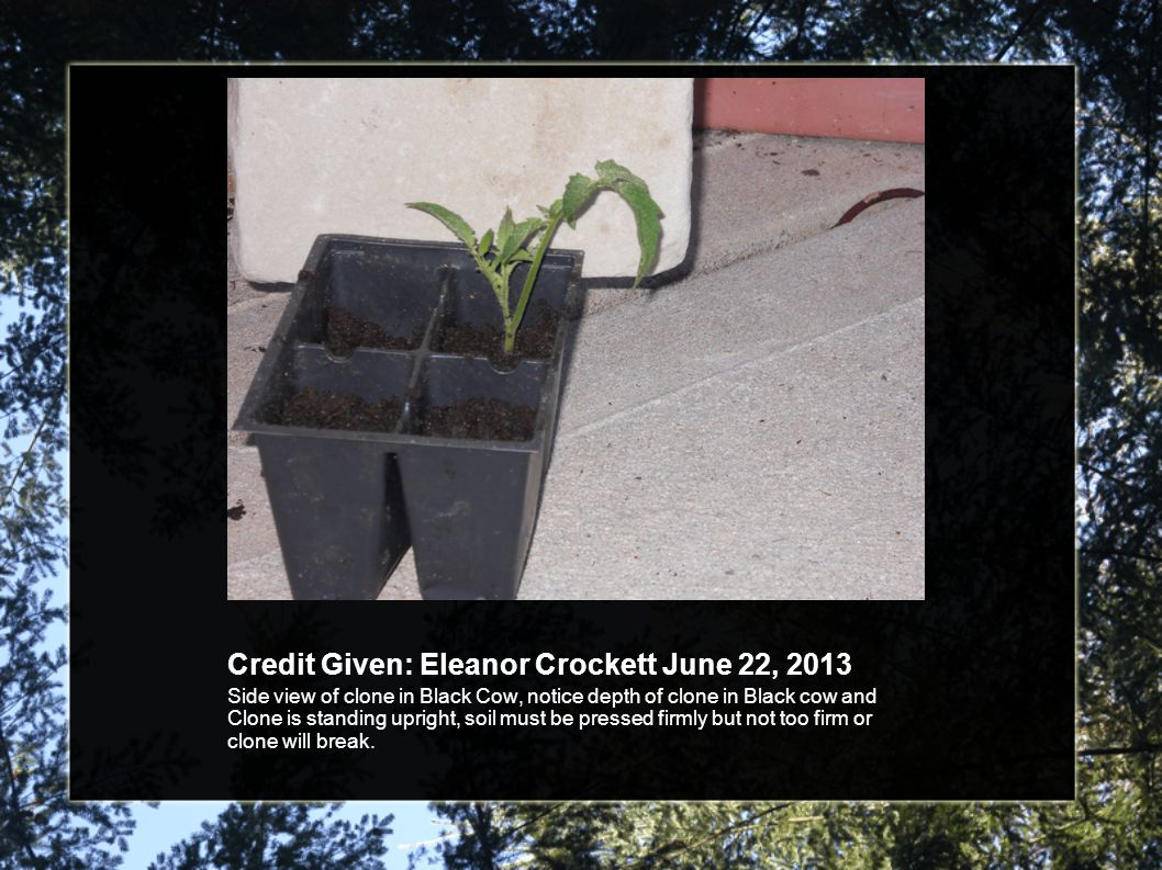 Credit Given: Eleanor Crockett June 22, 2013 Side view of clone in Black Cow, notice depth of clone in Black cow and Clone is standing upright, soil must be pressed firmly but not too firm or clone will break.