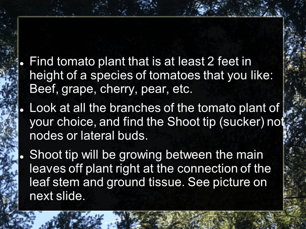 Find tomato plant that is at least 2 feet in height of a species of tomatoes that you like: Beef, grape, cherry, pear, etc.