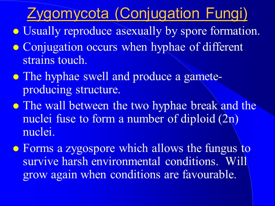 Zygomycota (Conjugation Fungi) Usually reproduce asexually by spore formation. Conjugation occurs when hyphae of different strains touch. The hyphae s