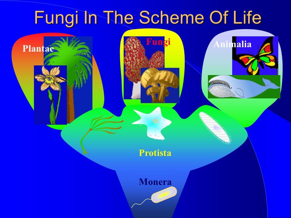 Basidiomycota (The Club Fungi) The mushroom consists of a stalk and a cap.