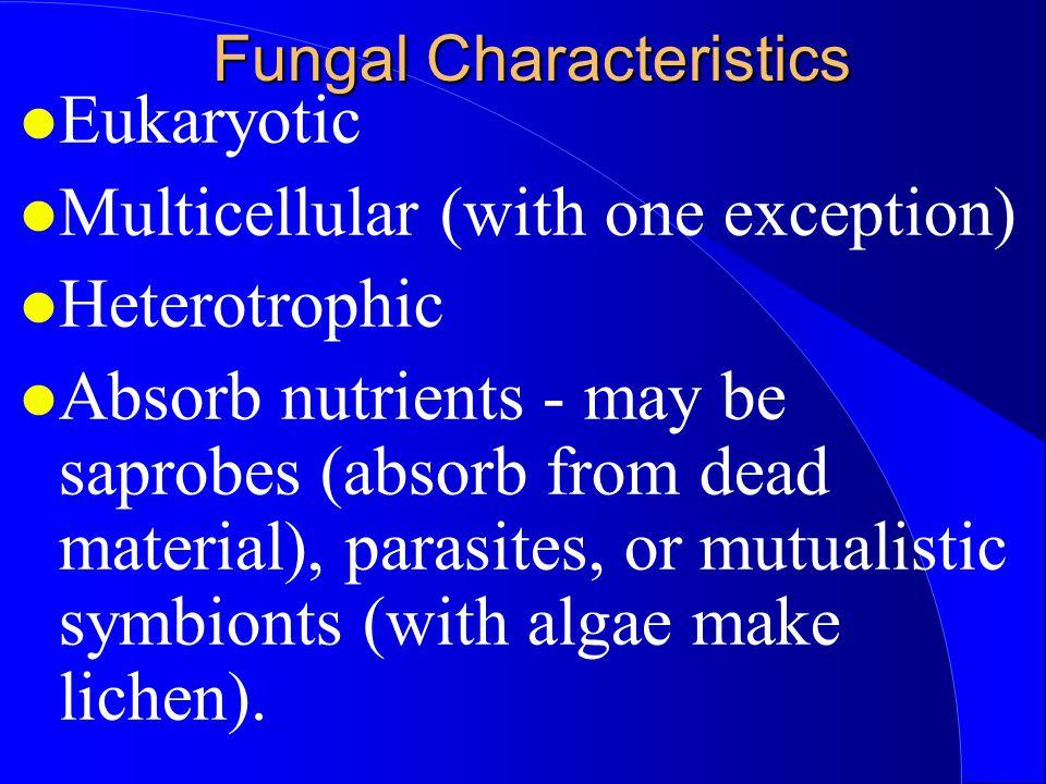 Ascomycota (The Sac Fungi) Ascomycota - Asc = sack - Truffles, yeasts, powdery mildew, morels & cup fungi.