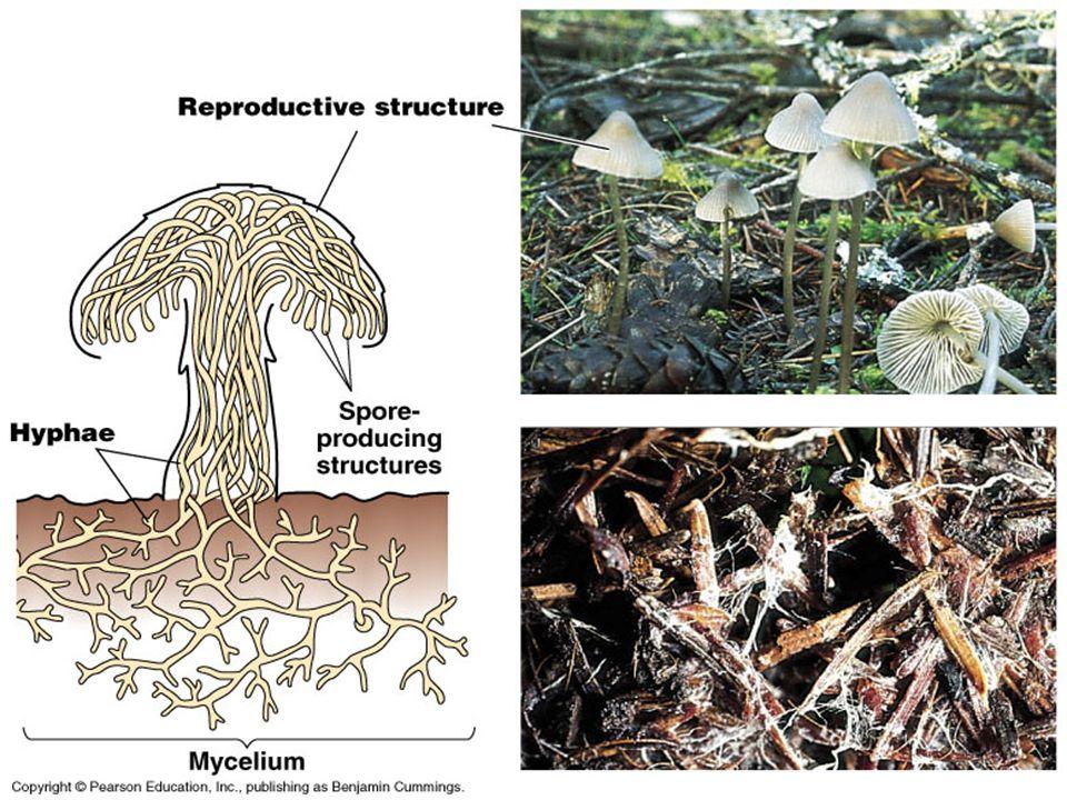 Lichens Lichens – Symbiotic relationship between fungi and algae.