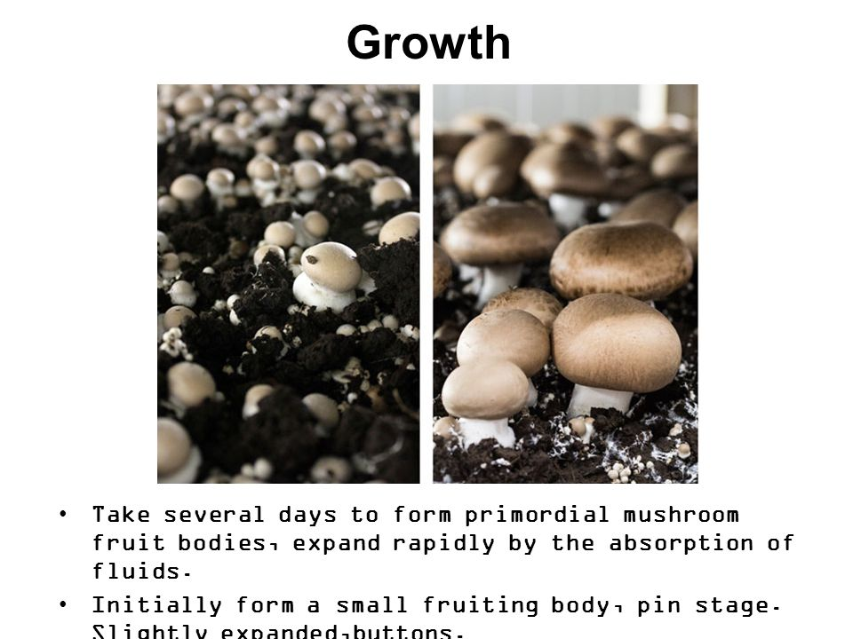 Growth Take several days to form primordial mushroom fruit bodies, expand rapidly by the absorption of fluids.