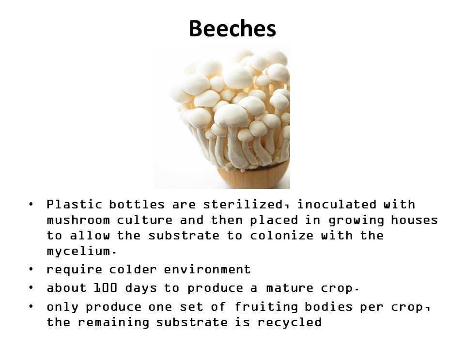 Beeches Plastic bottles are sterilized, inoculated with mushroom culture and then placed in growing houses to allow the substrate to colonize with the mycelium.
