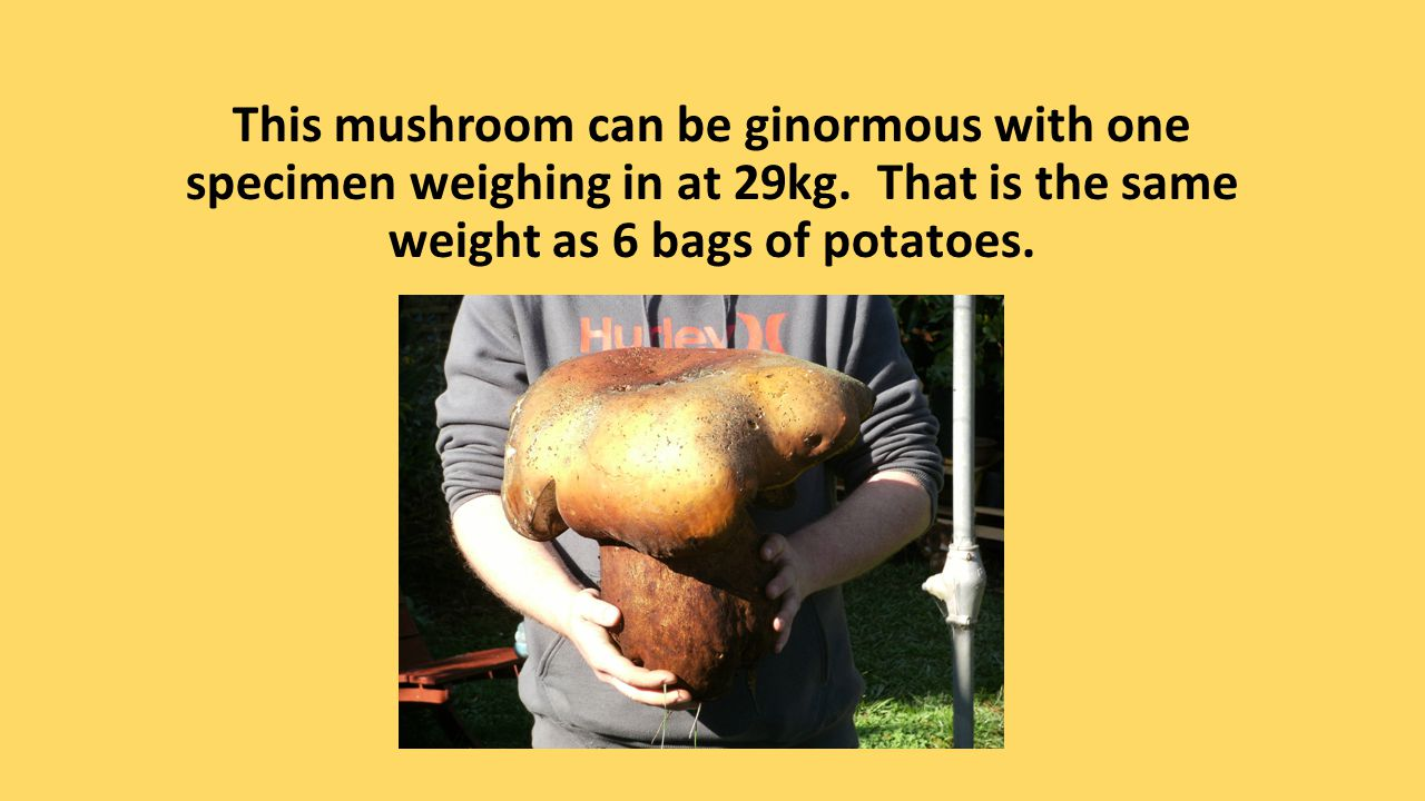 This mushroom can be ginormous with one specimen weighing in at 29kg. That is the same weight as 6 bags of potatoes.