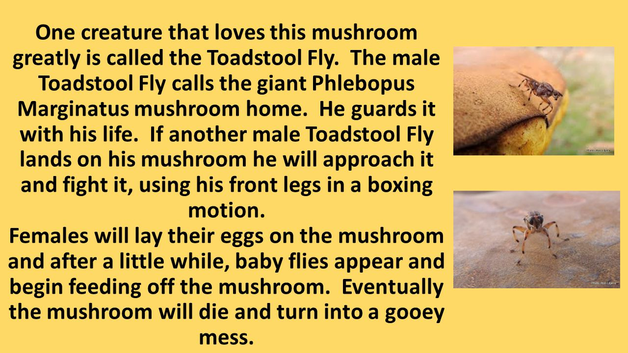 One creature that loves this mushroom greatly is called the Toadstool Fly. The male Toadstool Fly calls the giant Phlebopus Marginatus mushroom home.