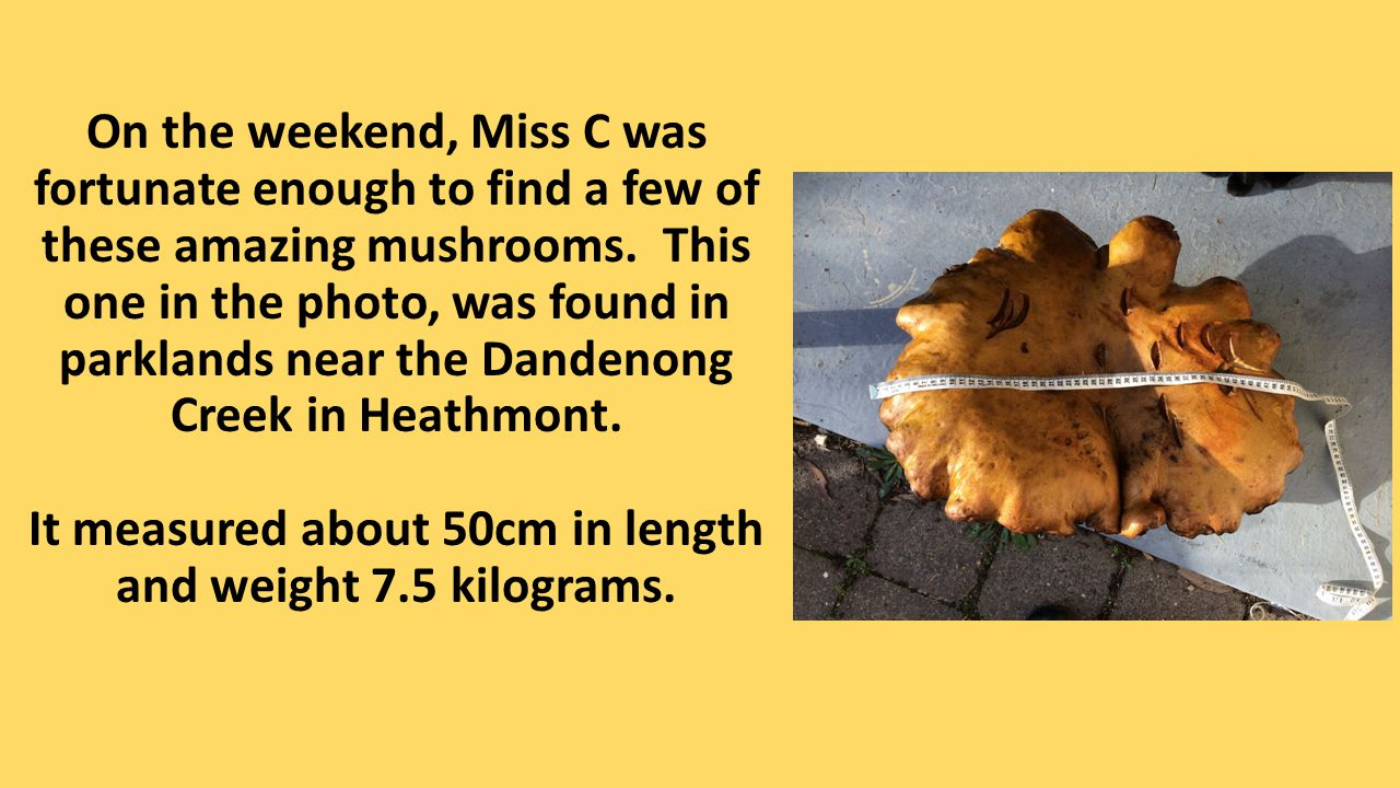 On the weekend, Miss C was fortunate enough to find a few of these amazing mushrooms. This one in the photo, was found in parklands near the Dandenong