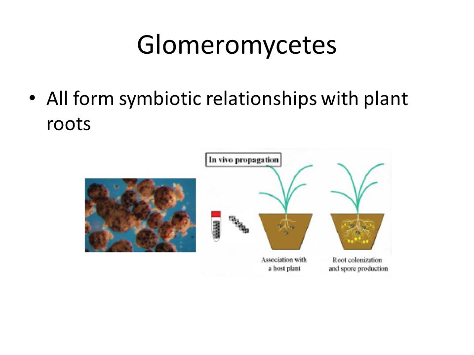 Glomeromycetes All form symbiotic relationships with plant roots