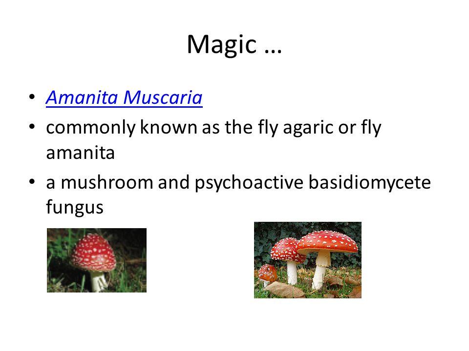 Magic … Amanita Muscaria commonly known as the fly agaric or fly amanita a mushroom and psychoactive basidiomycete fungus