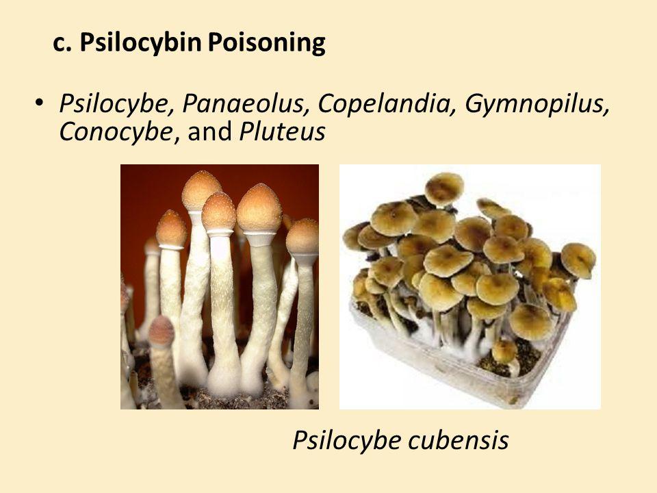 c. Psilocybin Poisoning Psilocybe, Panaeolus, Copelandia, Gymnopilus, Conocybe, and Pluteus Psilocybe cubensis
