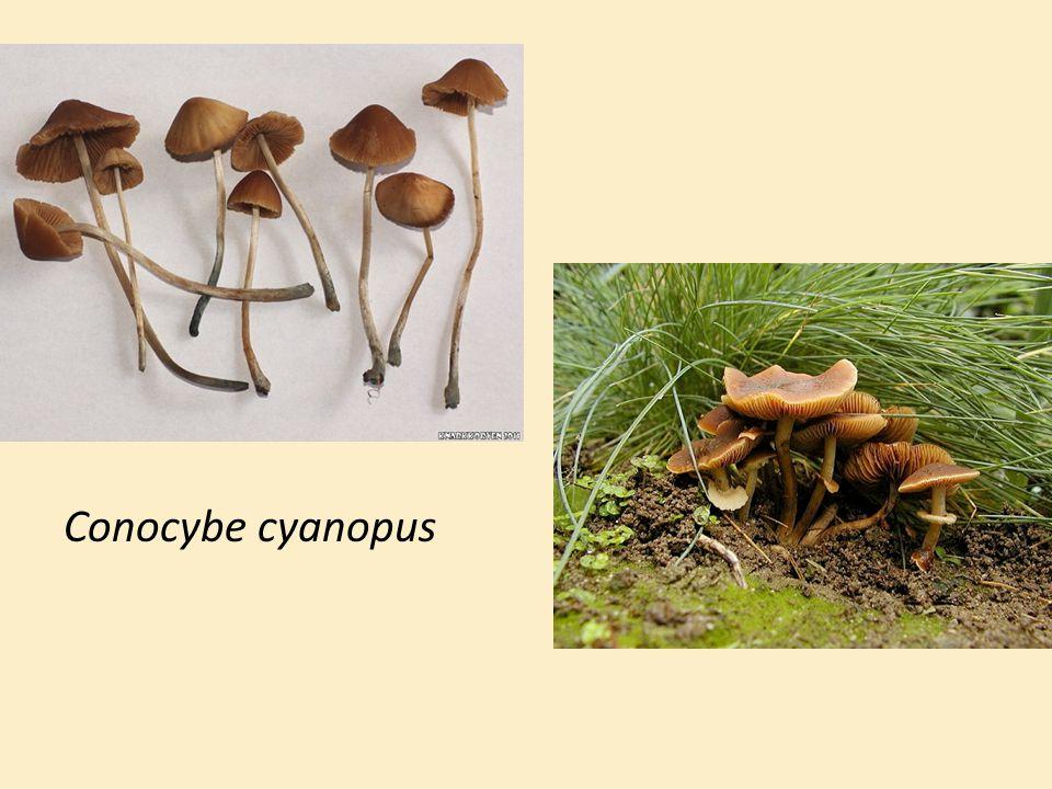 Conocybe cyanopus