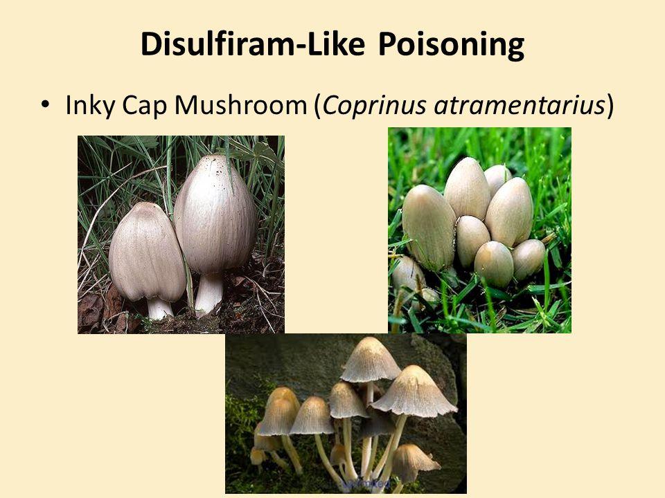 Disulfiram-Like Poisoning Inky Cap Mushroom (Coprinus atramentarius)