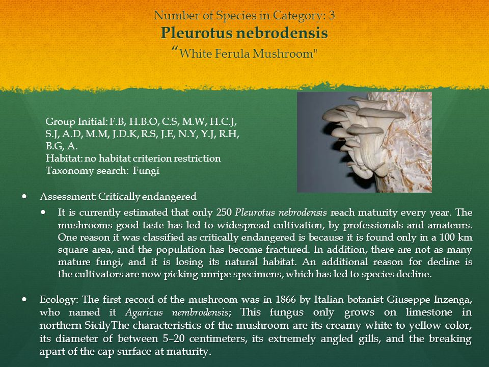 Conservation efforts: Currently there are no laws to protect Pleurotus nebrodensis.