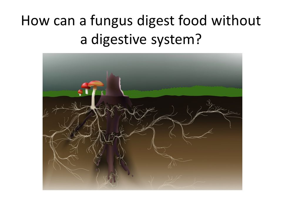 Digesting OUTSIDE the Body Fungi can break down polymers (large organic molecules) OUTSIDE their bodies The cells in the hyphae send out digestive enzymes that break the polymer into monomers (small organic molecules) The small monomers then can enter the cells of the hyphae and travel through the mycelium