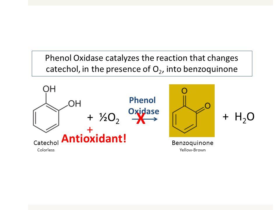 Catechol Colorless + ½O 2 Benzoquinone Yellow-Brown + H 2 O Phenol Oxidase + Antioxidant! X