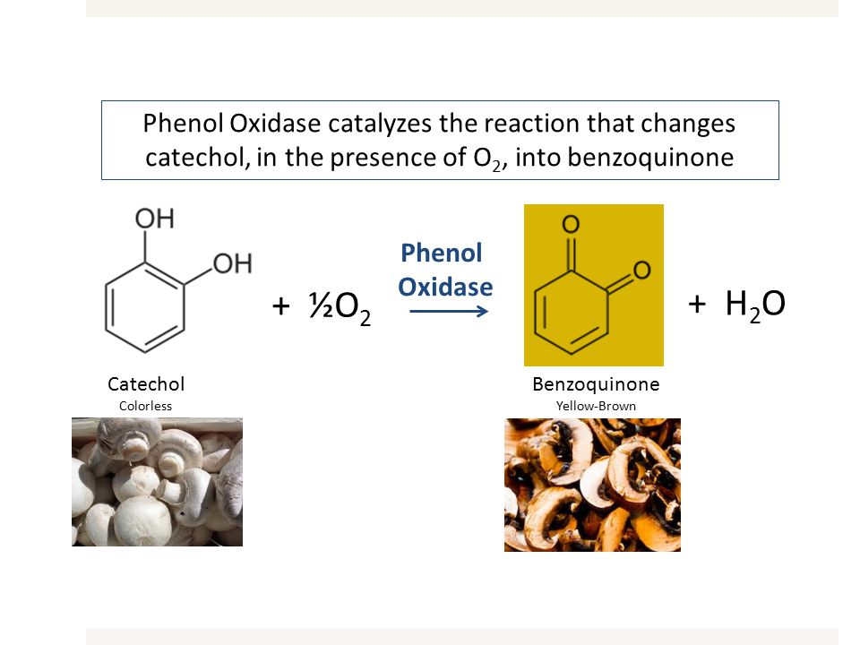 Catechol Colorless + ½O 2 Benzoquinone Yellow-Brown + H 2 O Phenol Oxidase Phenol Oxidase catalyzes the reaction that changes catechol, in the presence of O 2, into benzoquinone