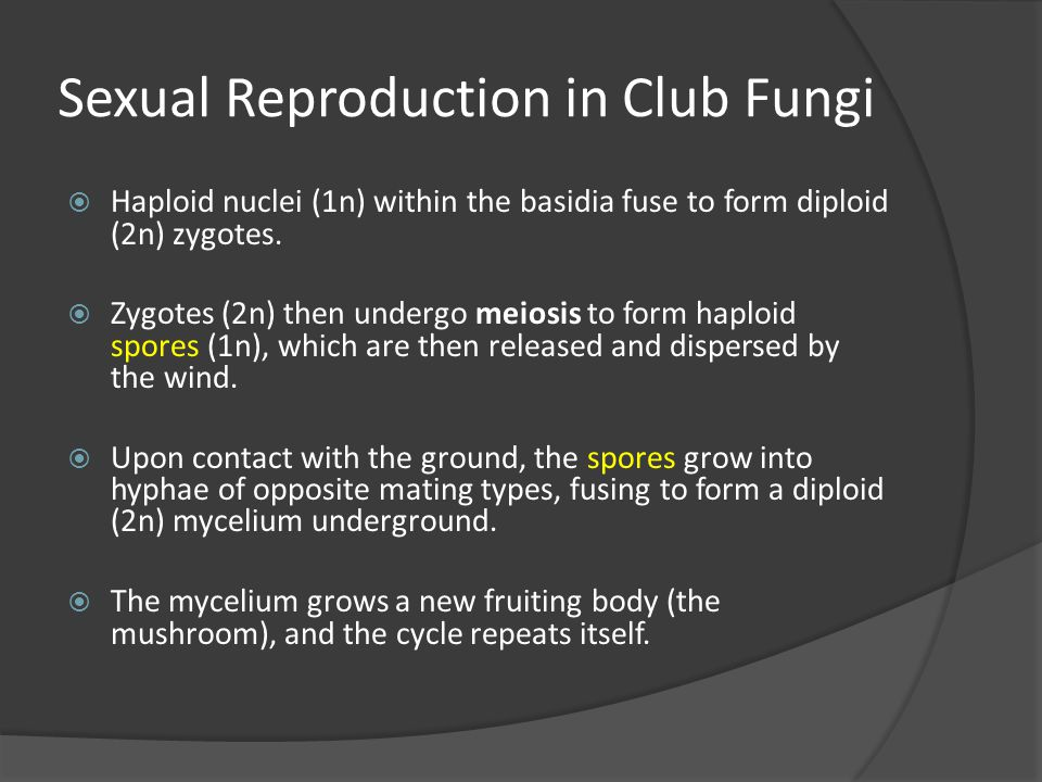 Sexual Reproduction in Club Fungi  Haploid nuclei (1n) within the basidia fuse to form diploid (2n) zygotes.  Zygotes (2n) then undergo meiosis to f
