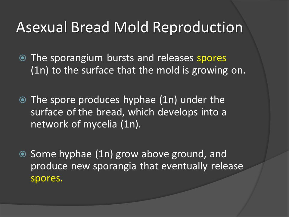 Asexual Bread Mold Reproduction  The sporangium bursts and releases spores (1n) to the surface that the mold is growing on.  The spore produces hyph