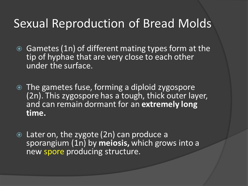 Sexual Reproduction of Bread Molds  Gametes (1n) of different mating types form at the tip of hyphae that are very close to each other under the surf