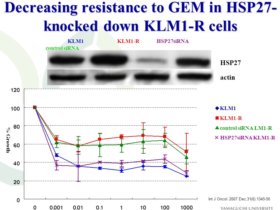 Decreasing resistance to GEM in HSP27- knocked down KLM1-R cells ◆ KLM1 ■ KLM1-R ▲ control siRNA LM1-R × HSP27siRNA KLM1-R KLM1 KLM1-R HSP27siRNA control siRNA HSP27 actin % Growth Int J Oncol.