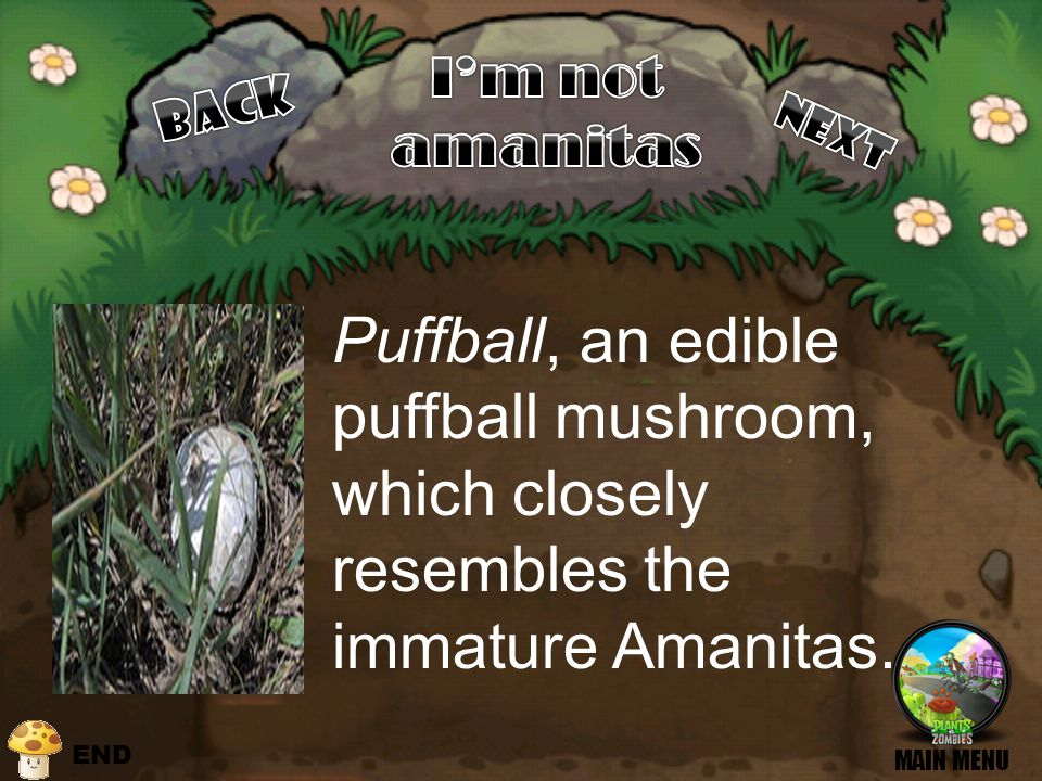 Puffball, an edible puffball mushroom, which closely resembles the immature Amanitas. MAIN MENU END