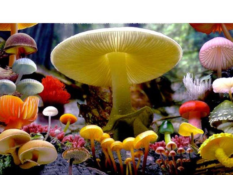Group VI - Psilocybin containing Mushrooms: Psilocybe caerulescens, Panaeolus, Gymnopolis Magic mushrooms Toxins are Psilocybin and its metabolite psilocin Effects are serotonin and norepinephrine mediated Effects like LSD