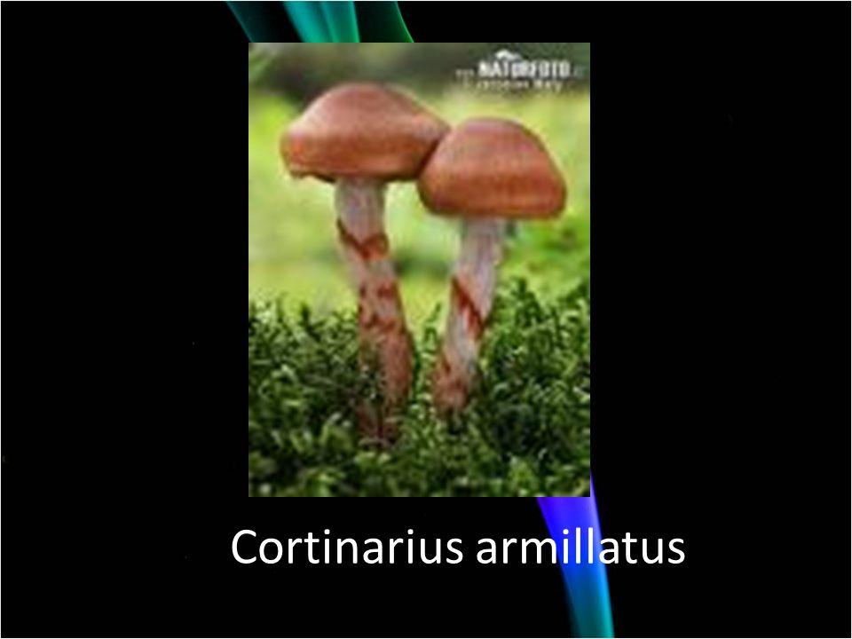 Cortinarius armillatus