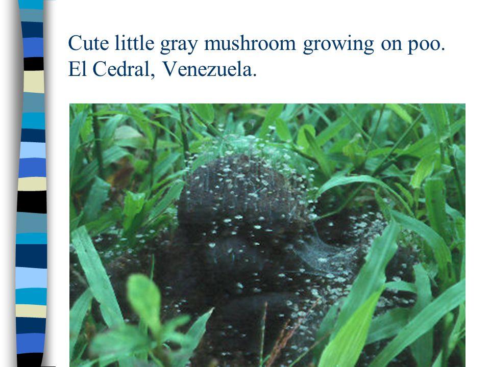 Cute little gray mushroom growing on poo. El Cedral, Venezuela.