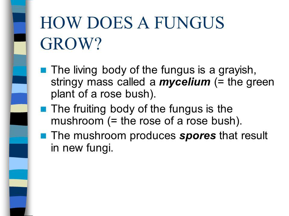 HOW DOES A FUNGUS OBTAIN NUTRITION.