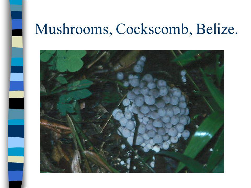 Mushrooms, Cockscomb, Belize.
