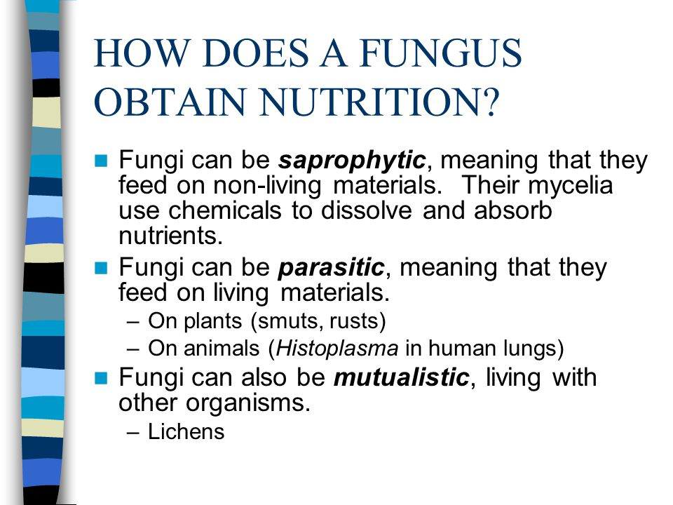 HOW DOES A FUNGUS OBTAIN NUTRITION? Fungi can be saprophytic, meaning that they feed on non-living materials. Their mycelia use chemicals to dissolve