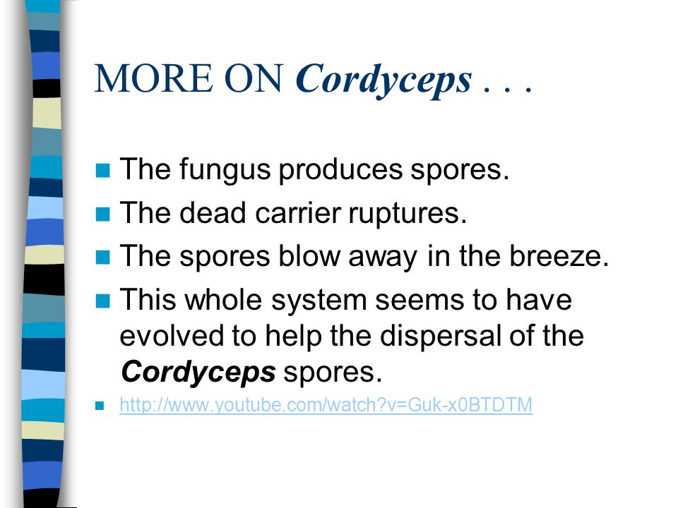 MORE ON Cordyceps... The fungus produces spores. The dead carrier ruptures. The spores blow away in the breeze. This whole system seems to have evolve